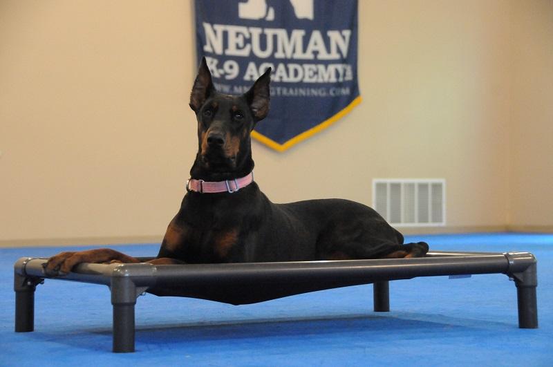 Daphny (Doberman Pinscher) - Boot Camp Dog Training
