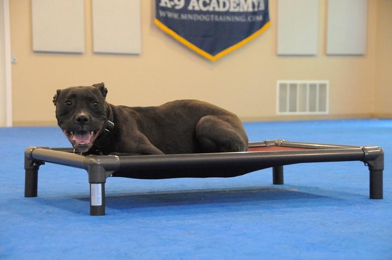 Dawson (APBT) - Boot Camp Dog Training