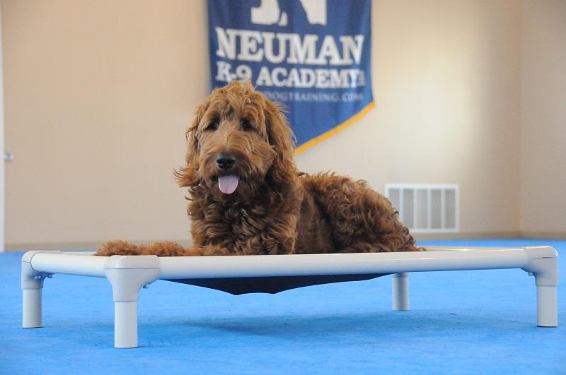 Dexter (Goldendoodle) - Boot Camp Dog Training