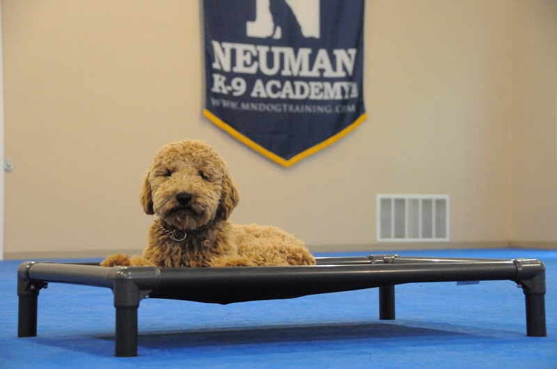 Gibs (Australian Labradoodle) - Boot Camp Dog Training