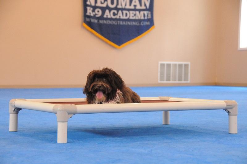Hanna (Havanese) - Boot Camp Dog Training