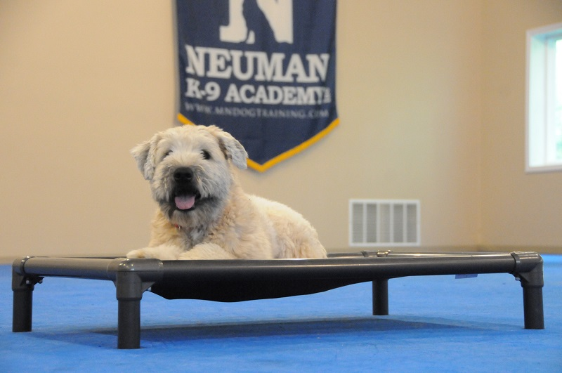 Hope (Wheaten Terrier) - Boot Camp Dog Training