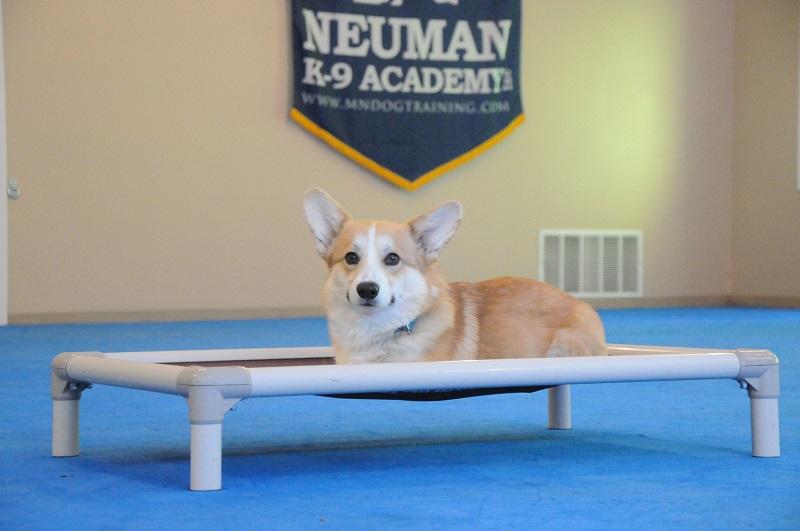 Houston (Pembroke Welshe Corgi) - Boot Camp Dog Training