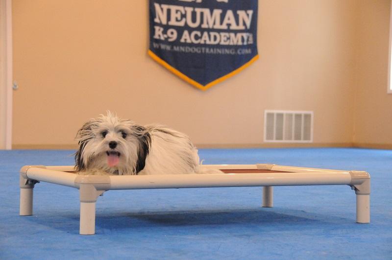 Humphrey (Lowchen) - Boot Camp Dog Training