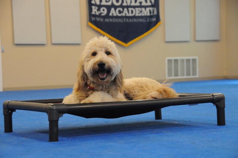 Jenny (Goldendoodle) - Boot Camp Dog Training