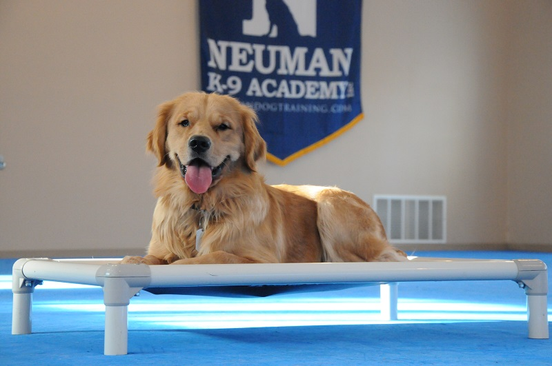 Joey (Golden Retriever) - Boot Camp Dog Training