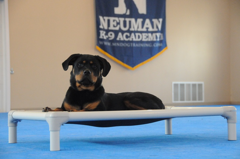 Juno (Rottweiler) - Puppy Camp Dog Training