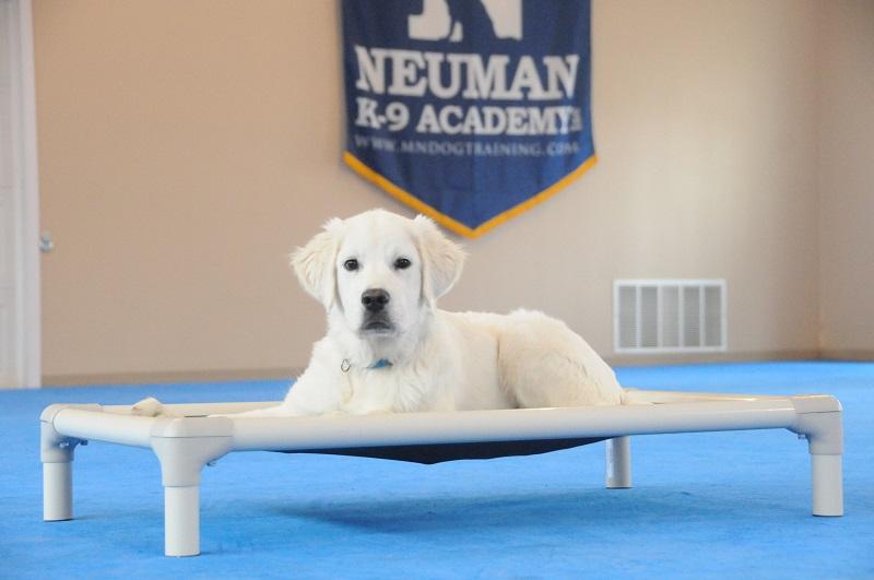 Kimber (Golden Retriever) - Puppy Camp Dog Training