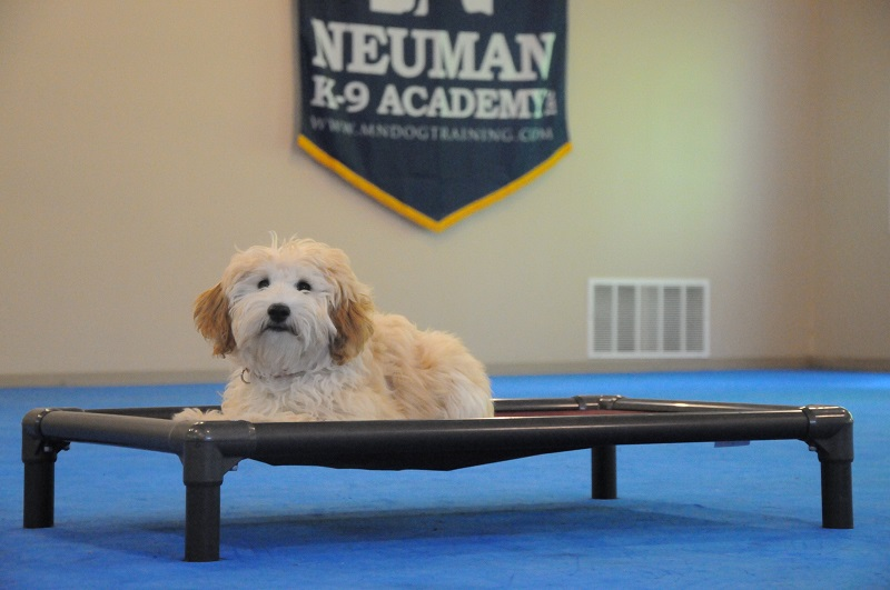 Lexi (Goldendoodle) - Boot Camp Dog Training