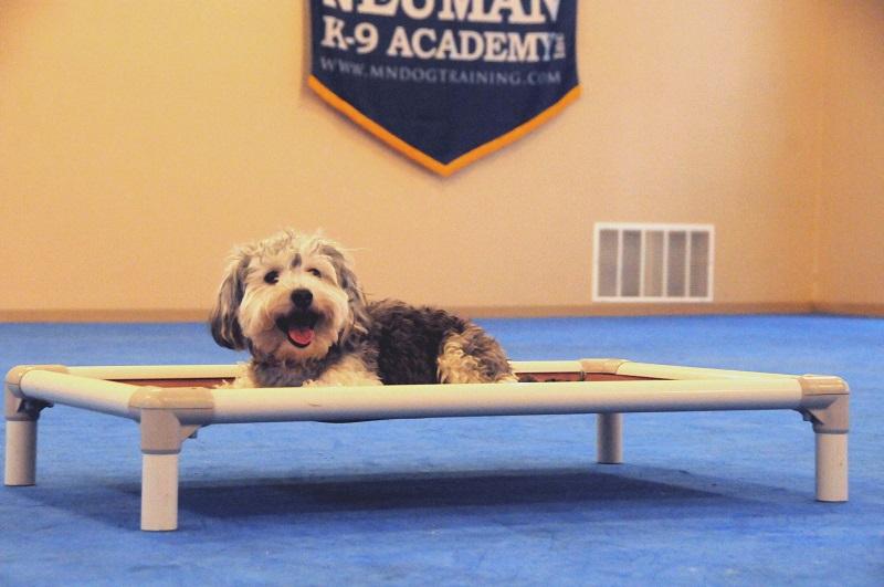 Captain Louie (Cavachon) - Boot Camp Dog Training