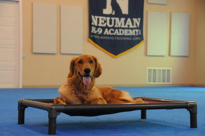 Maxie (Golden Retriever) - Boot Camp Dog Training