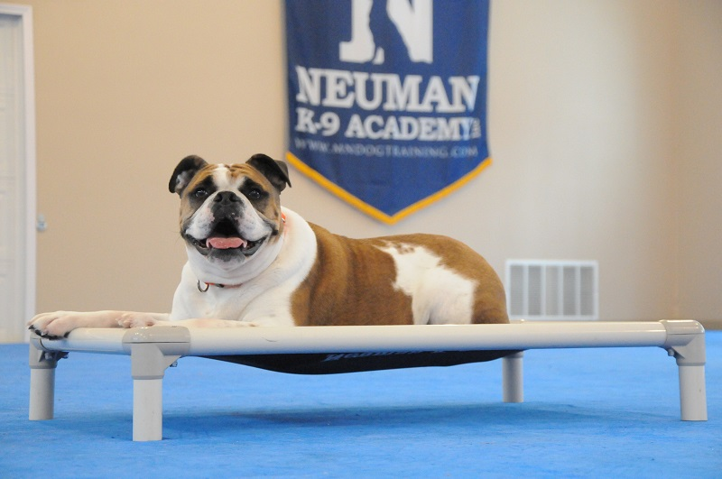 Missy (Bulldog) - Boot Camp Dog Training