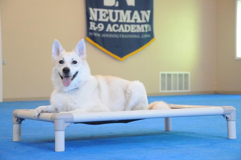 Niko (Norwegian Buhund) - Boot Camp Dog Training