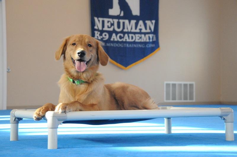 Oliver (Golden Retriever) - Boot Camp Dog Training