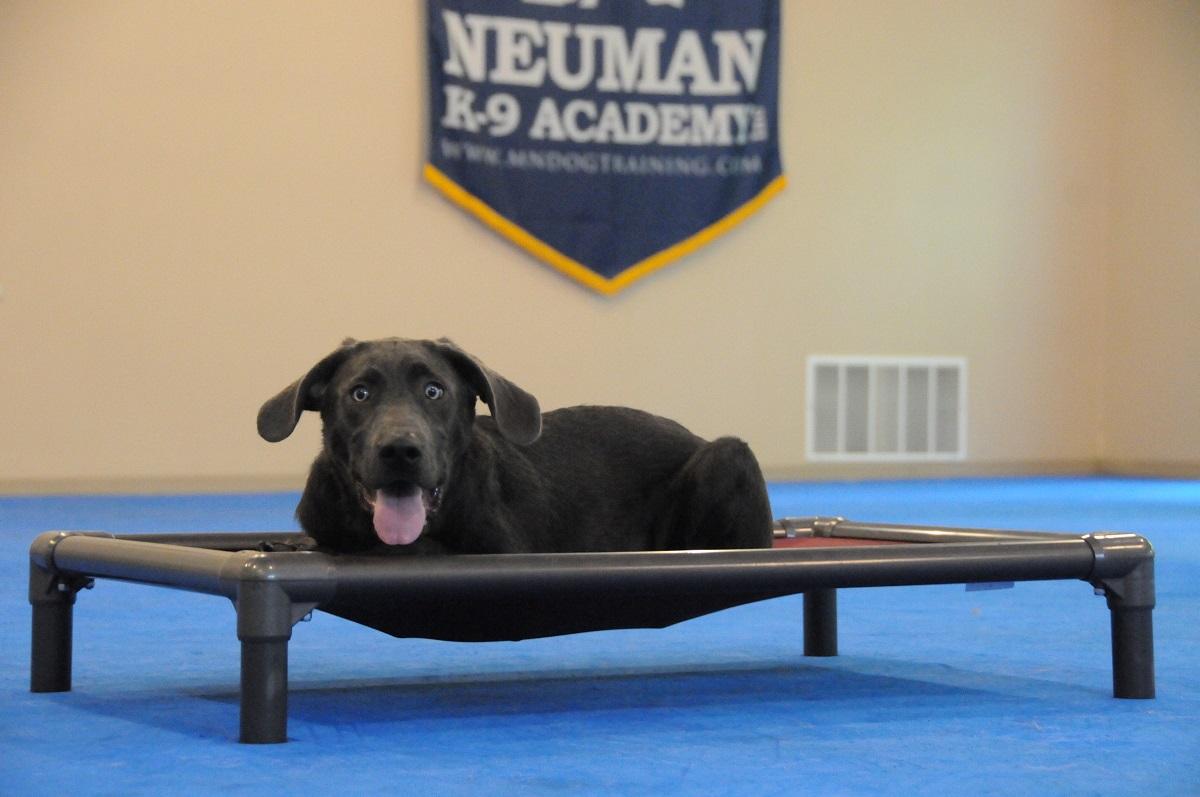 Parrish (Labrador Retriever) - Boot Camp Dog Training