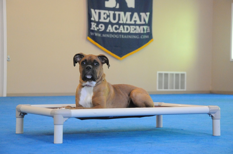 Pebbles (Boxer) - Boot Camp Dog Training