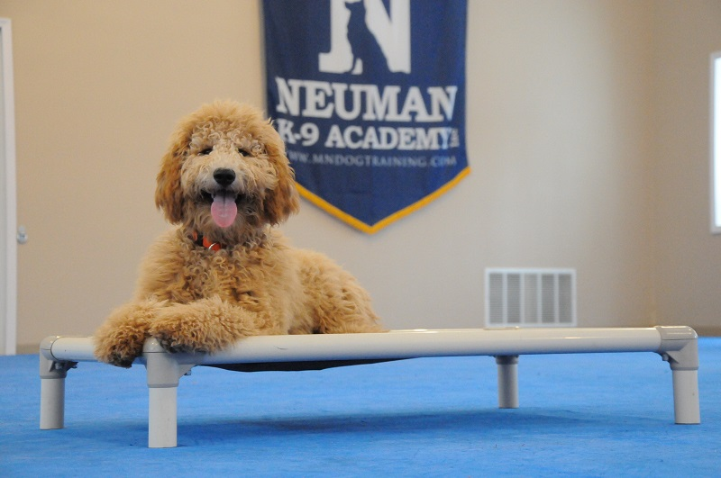 Penny (Goldendoodle) - Boot Camp Dog Training