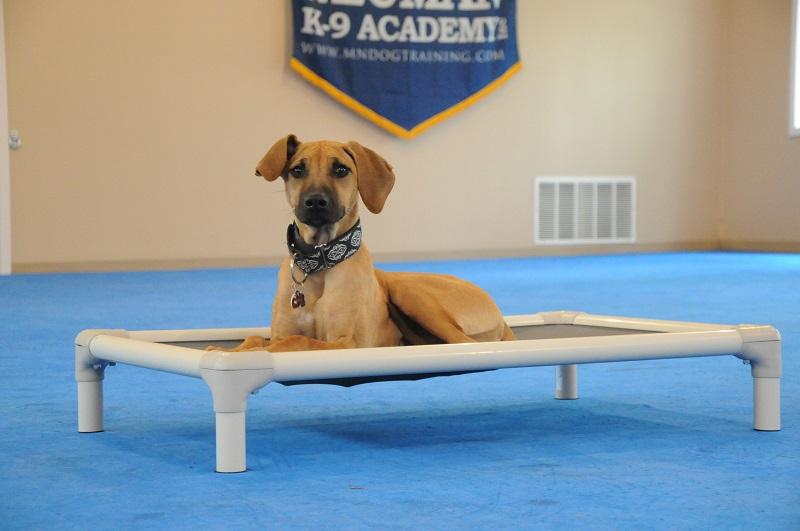 Poppy (Rhodesian Ridgeback) - Boot Camp Dog Training