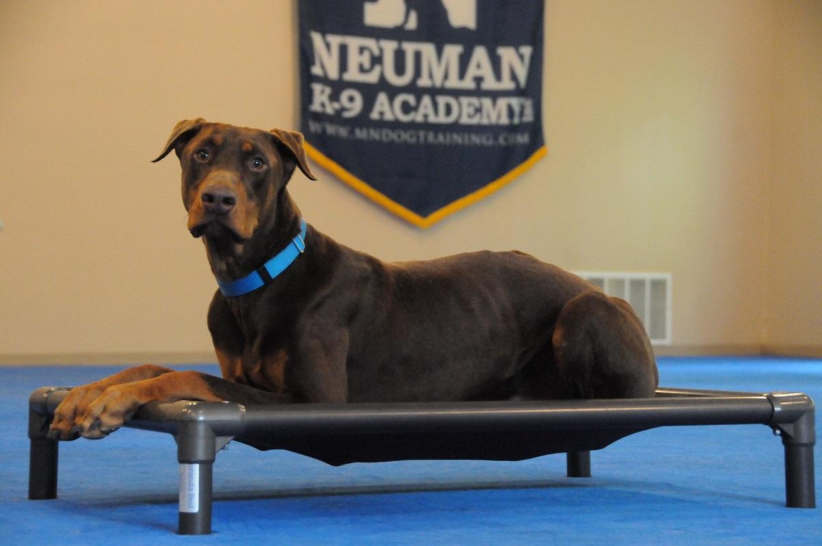 Red (Doberman Pinscher) - Boot Camp Dog Training