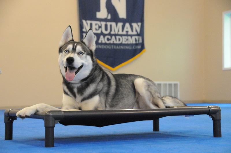 Ronin (Siberian Husky) - Boot Camp Dog Training