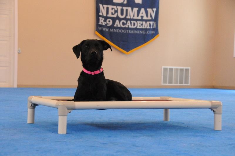 Rouser (Labrador Retriever) - Boot Camp Dog Training