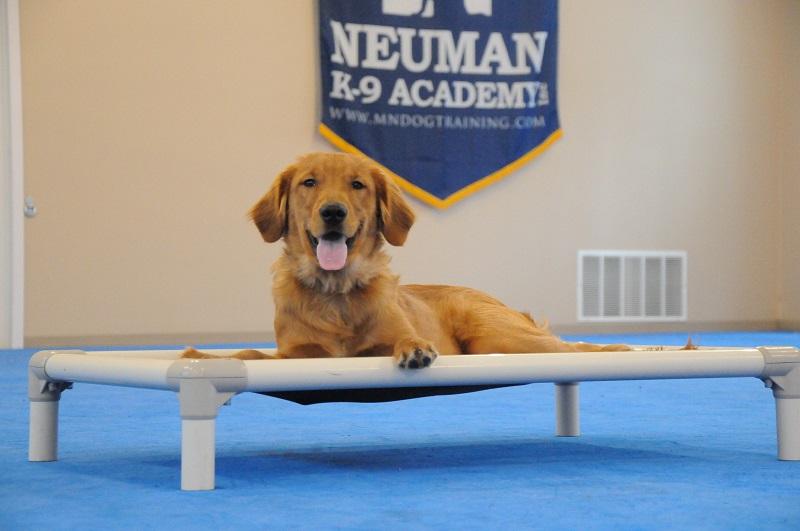 Rusty (Golden Retrieer) - Boot Camp Dog Training
