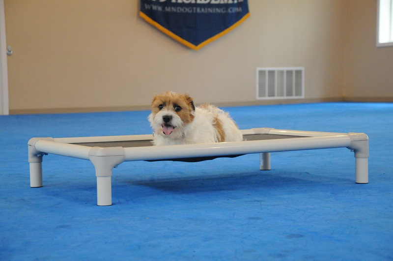 Scarlet (Jack Russell Terrier) - Boot Camp Dog Training