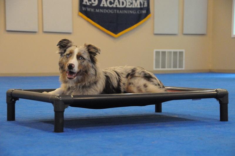 Snickers (Australian Shepherd) - Boot Camp Dog Training