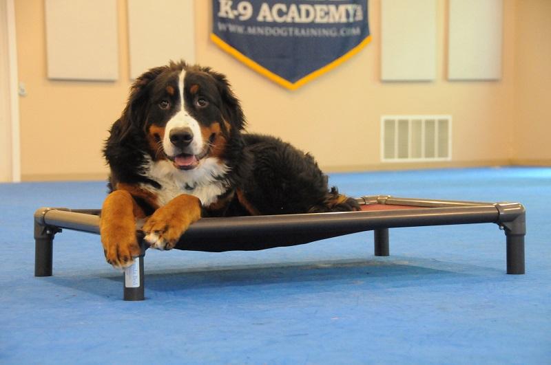 Starsky (Bernese Mountain Dog) - Boot Camp Dog Training