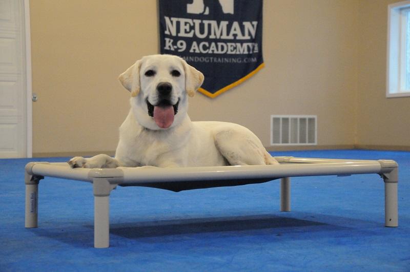 Thunder (Labrador Retriever) - Boot Camp Dog Training
