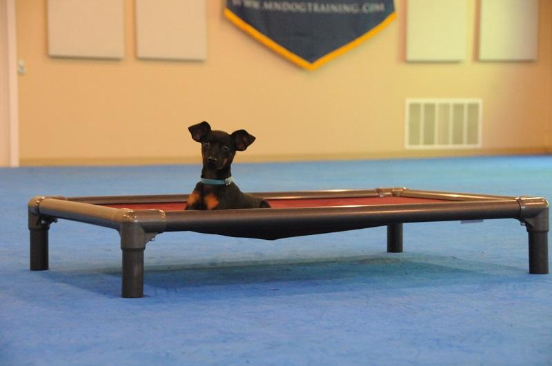 Turbo (Miniature Pinscher) - Boot Camp Dog Training