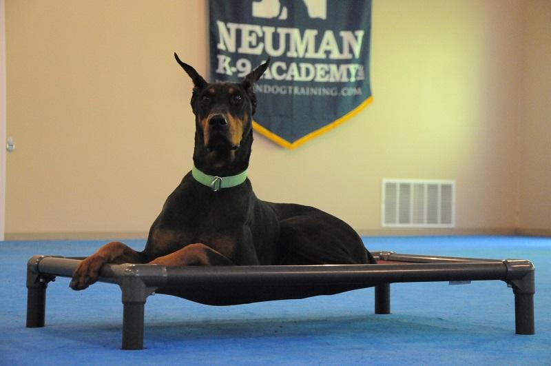Zander (Deoberman Pinscher) - Boot Camp Dog Training