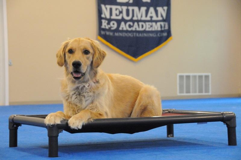 Zoe (Golden Retriever) - Boot Camp Dog Training