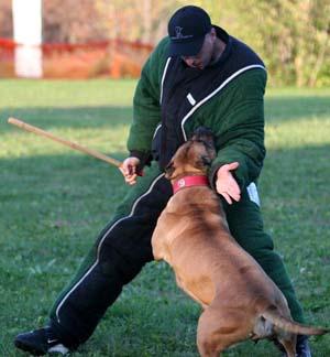 Sport Dog - Josiah Neuman working Jetta
