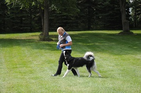 Minnesota dog obedience training with a Siberian Husky