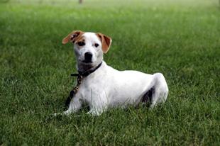 Jack Russell Terrier of Neuman K-9 Academy