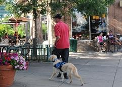 Psychiatric Service Dog - Josiah Neuman working Sunny