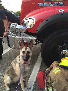 Libby -  German Shepherd Therapy Dog