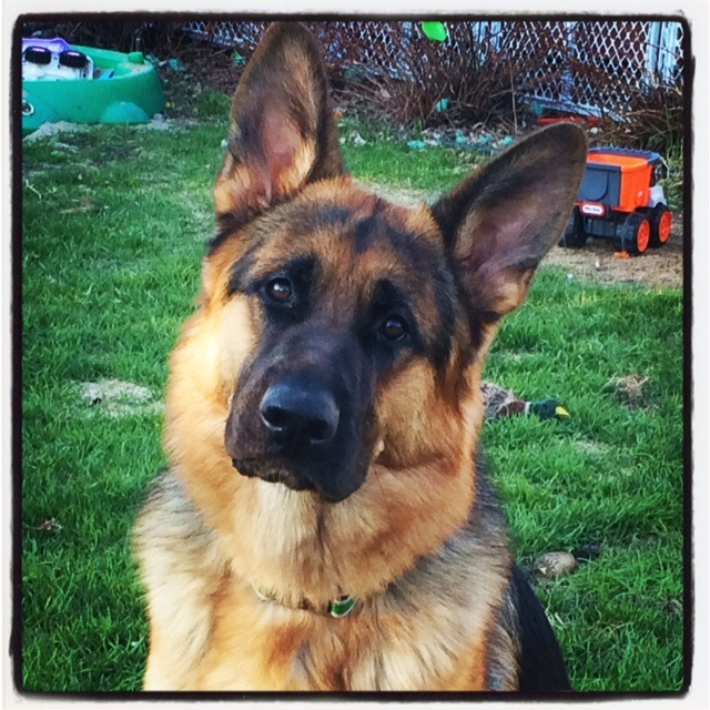 Lovie the German Shepherd